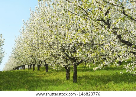 cherry orchard at full bloom