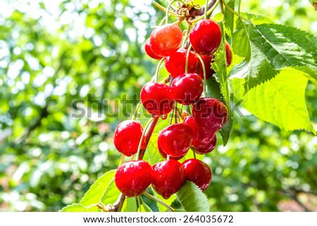 Cherry red berries on a tree branch with water drops after summer rain, backlit. The background is blurred - stock photo
