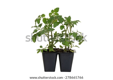 Cherry Red Hybrid Tomato Plant in tray - stock photo
