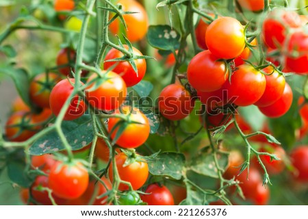 cherry tomatoes - stock photo