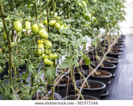 Cherry  tomatoes fruit in a greenhouse.