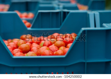 cherry tomatoes in a crate ready to be shipped - stock photo