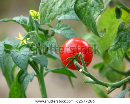 Cherry Tomatoes on the Vine - stock photo