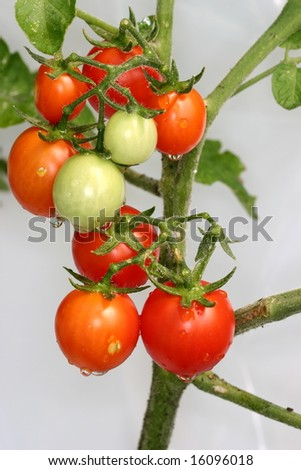 cherry tomatoes on the vine with white background - stock photo