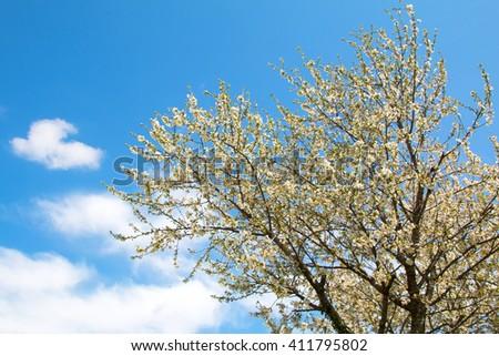 Cherry tree and blue skies - stock photo
