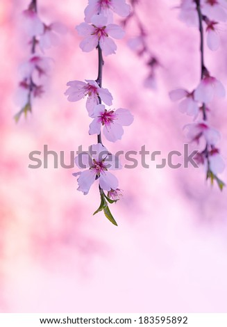 Cherry tree blossom, beautiful pink floral background, blooming nature, spring season, gentle flowers in Japanese fruits garden - stock photo