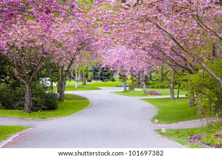 Cherry tree blossoms on a quiet country road. - stock photo