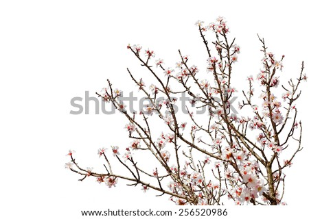 Cherry tree branch full of flower blossoms isolated on a white background - stock photo