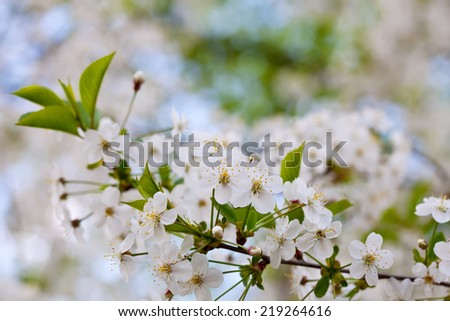 cherry tree branch in spring against  blur background   with copyspace - stock photo
