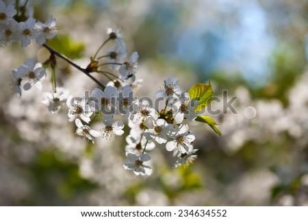 cherry tree branch in spring blooms garden - stock photo