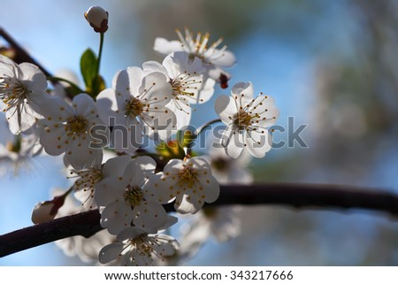 cherry tree branch in spring blooms garden - stock photo