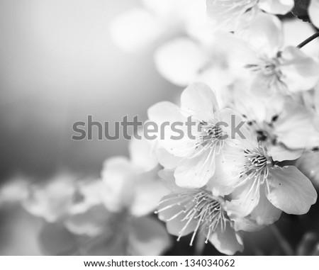 Cherry tree flower - stock photo