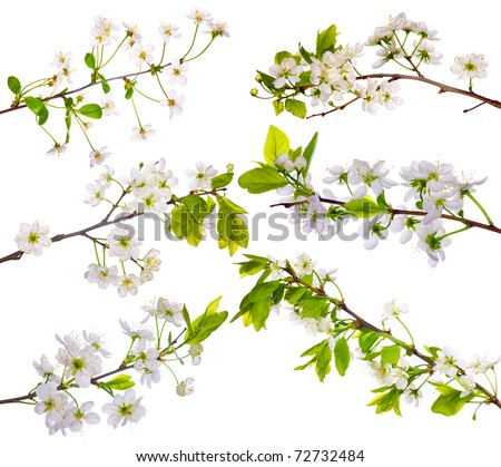 cherry-tree flowers collection isolated on white background - stock photo