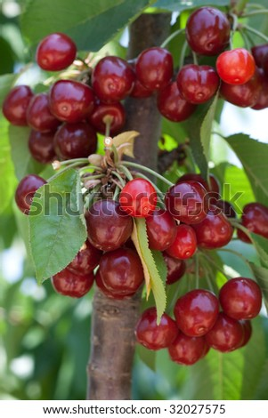 cherry tree full of sweet appetizing  red fruits - stock photo