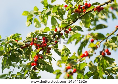 cherry tree in full fruit