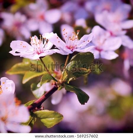 Cherry tree in violet flowers - stock photo