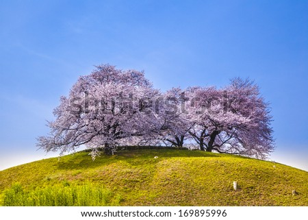 Cherry tree on the hill, Sakitama Tumulus, Saitama, Japan - stock photo