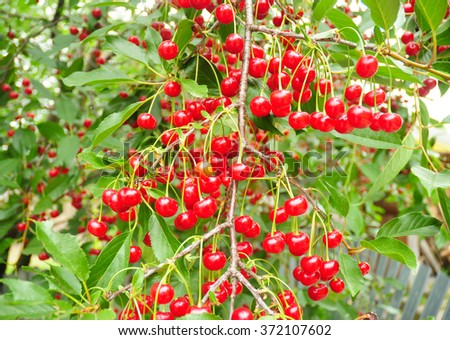 Cherry tree with ripe sour red cherries.  A cherry tree will bear abundant crops of cherries and beautify your yard. - stock photo