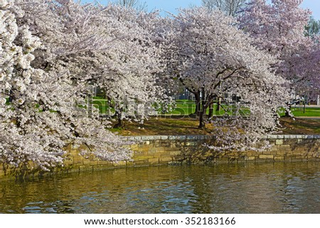 Cherry trees at peak blossom around the Tidal Basin in Washington DC, USA. White and pink flower on trees standing close to the waters of Tidal Basin. - stock photo