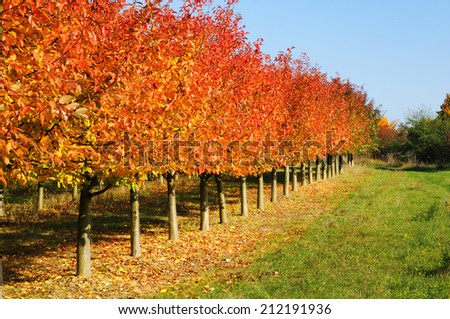 Cherry-trees in autumn colors - stock photo