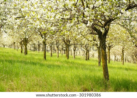 Cherry trees in blossom, spring orchard, nature - stock photo