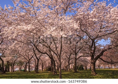 Cherry trees in full bloom along the Tidal Basin in Washington, DC in the spring. - stock photo