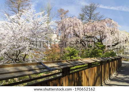 cherry trees in full bloom hang over the fence to the japanese pond and - Japanese Garden Cherry Blossom Bridge