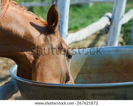 Chestnut arabian mare drinking from a drinking bowl, in paddock - stock photo