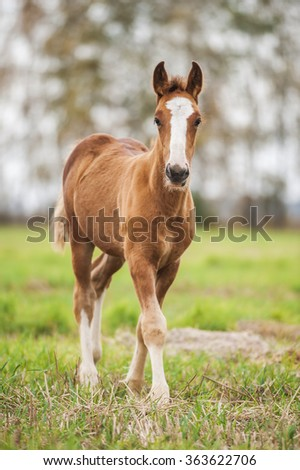 Chestnut baby foal of draught horse - stock photo