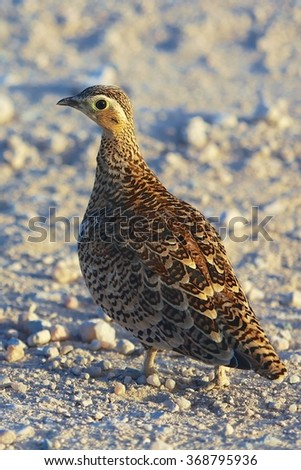 chestnut-bellied sandgrouse at samburu