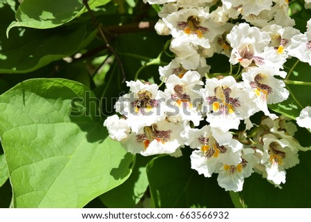 Chestnut blossom tree bee beautiful chestnut stock photo royalty chestnut blossom tree with a bee beautiful chestnut flower with big white blossoms with dashes of mightylinksfo