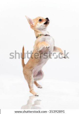 Chestnut chihuahua jumping in studio on white background - stock photo