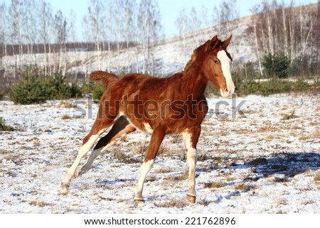 Chestnut colt galloping free in winter - stock photo