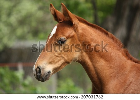 Chestnut cute horse foal portrait in summer outside - stock photo