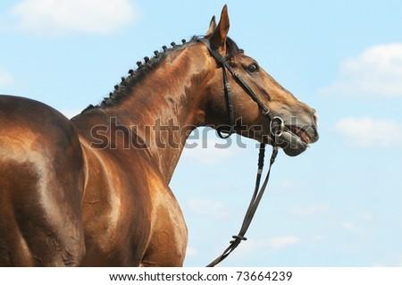 Chestnut Don horse stallion portrait in summer on sky background - stock photo