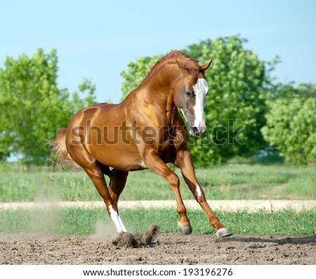 chestnut don stallion playing - stock photo