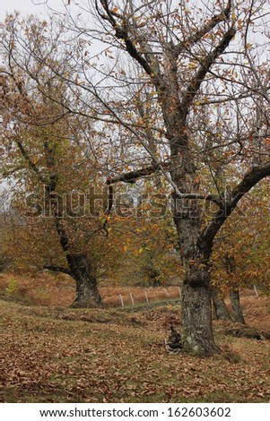Chestnut grove in Lozere village near Florac, National park of the Cevennes, France - stock photo