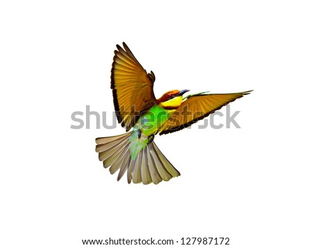 Chestnut-headed Bee-eaters in flight isolated on white background - stock photo