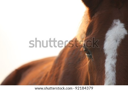 Chestnut horse eye close up at the sunset - stock photo