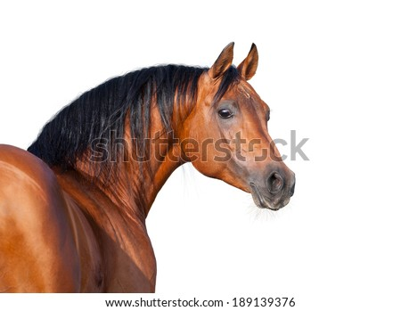 Chestnut horse head isolated on white background, Arabian horse. - stock photo