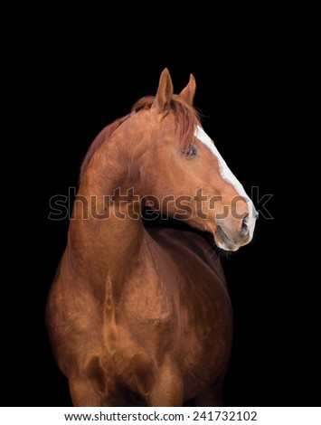 Chestnut horse head on black, close up. - stock photo
