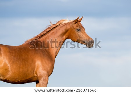 Chestnut horse head on blue sky with clouds. - stock photo
