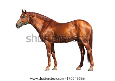 Chestnut horse isolated on white background - stock photo