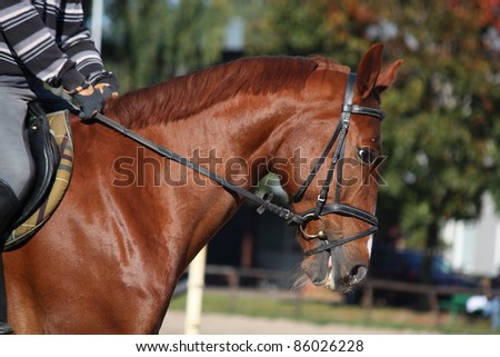 Chestnut horse portrait - stock photo