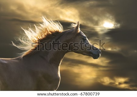 chestnut  horse runs gallop in sunset - stock photo