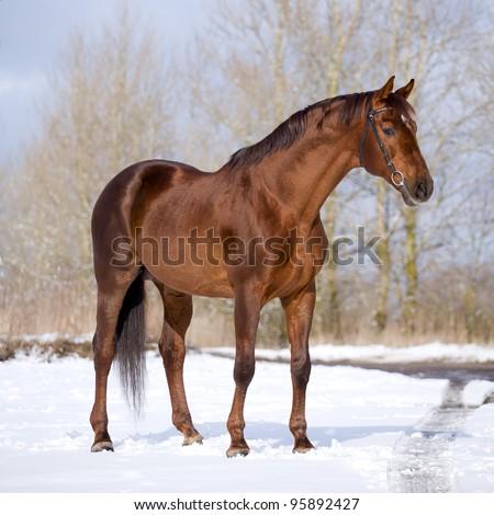 Chestnut horse standing in winter - stock photo