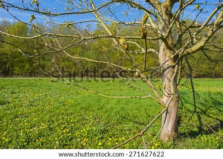 Chestnut in a sunny field in spring - stock photo