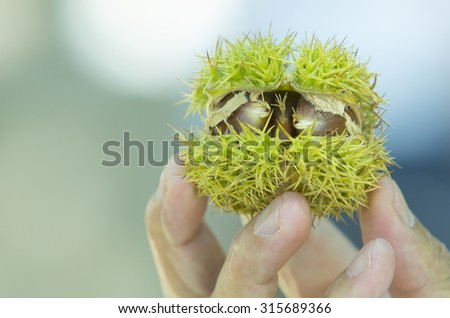 Chestnut in people hand on clean background - stock photo