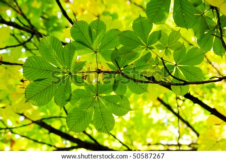 chestnut leaves in sun rays - stock photo