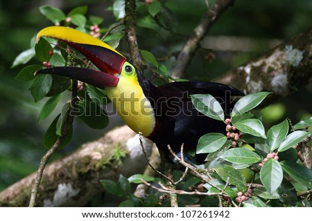 Chestnut-mandibled Toucan (Ramphastos swainsonii) at Selva Verde, Costa Rica, throwing back a fruit - stock photo